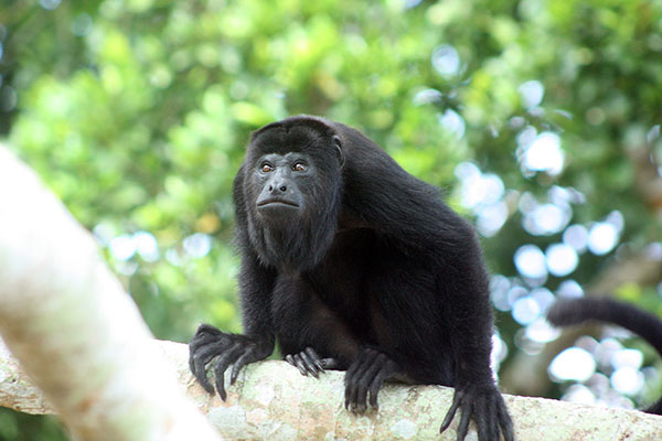 Howler Monkey on the grounds of the lodge
