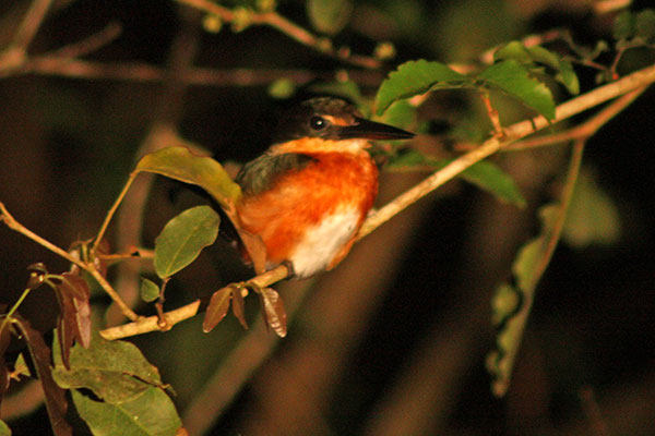 American Pygmy Kingfisher seen on Spotlight Night River Safari