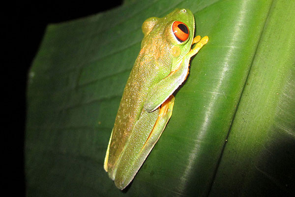 Red Eyed Tree Frog spotted on a Night Walk